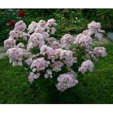 Bouquet parfait , Букет Парфе